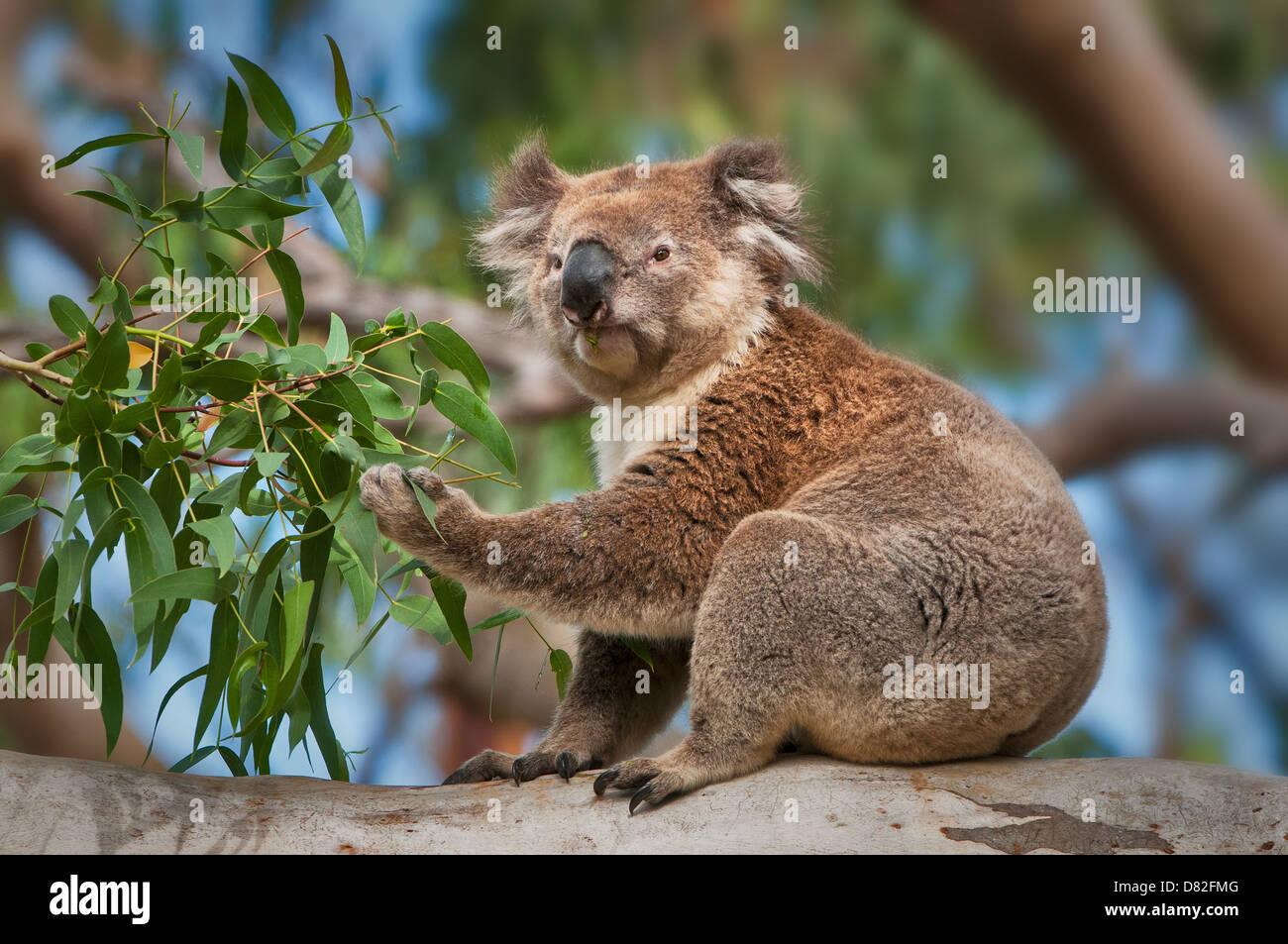 Koala feeding in a eucalyptus tree. - Stock Image