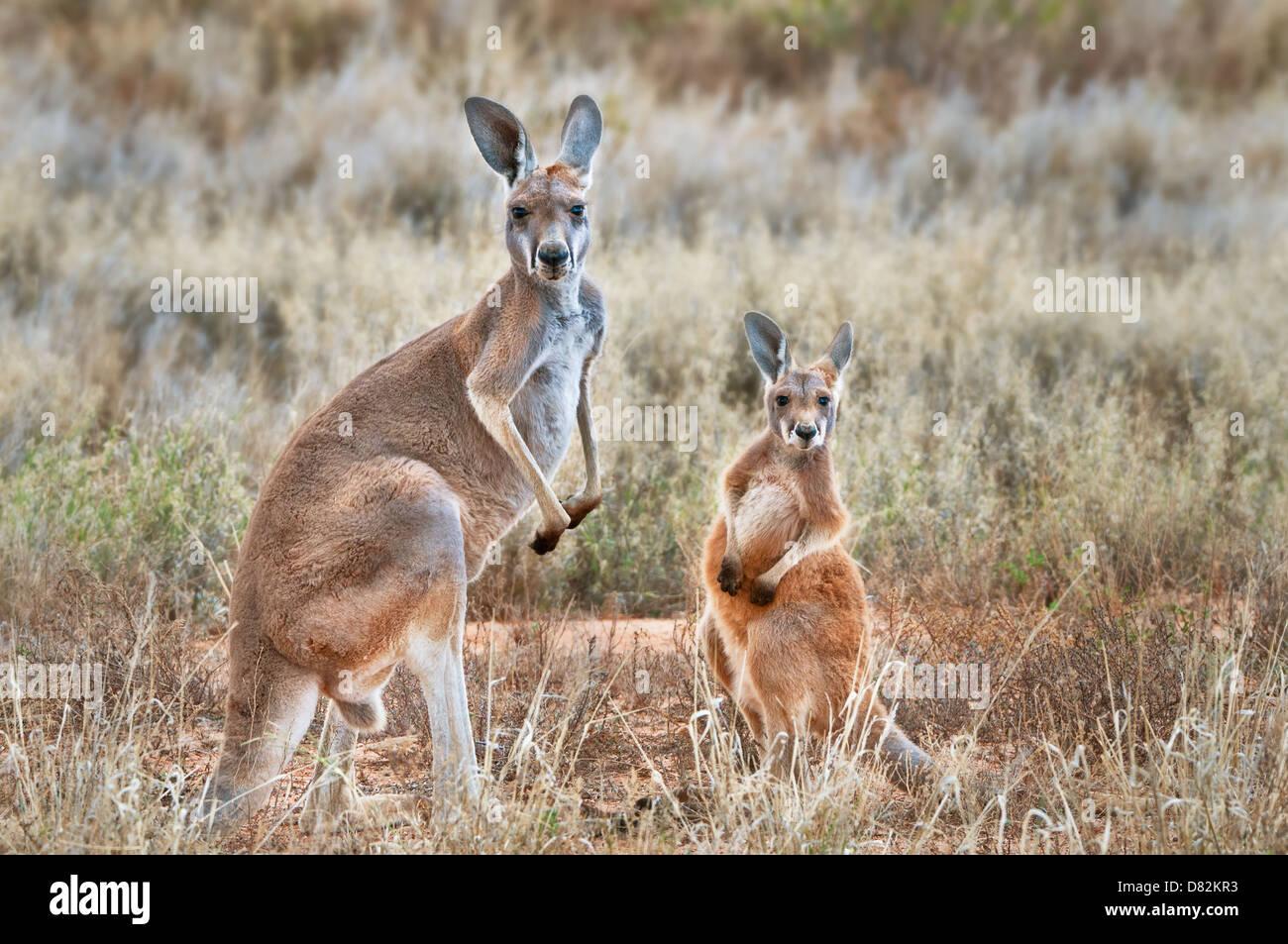 Red Kangaroo With Joey Stock Image