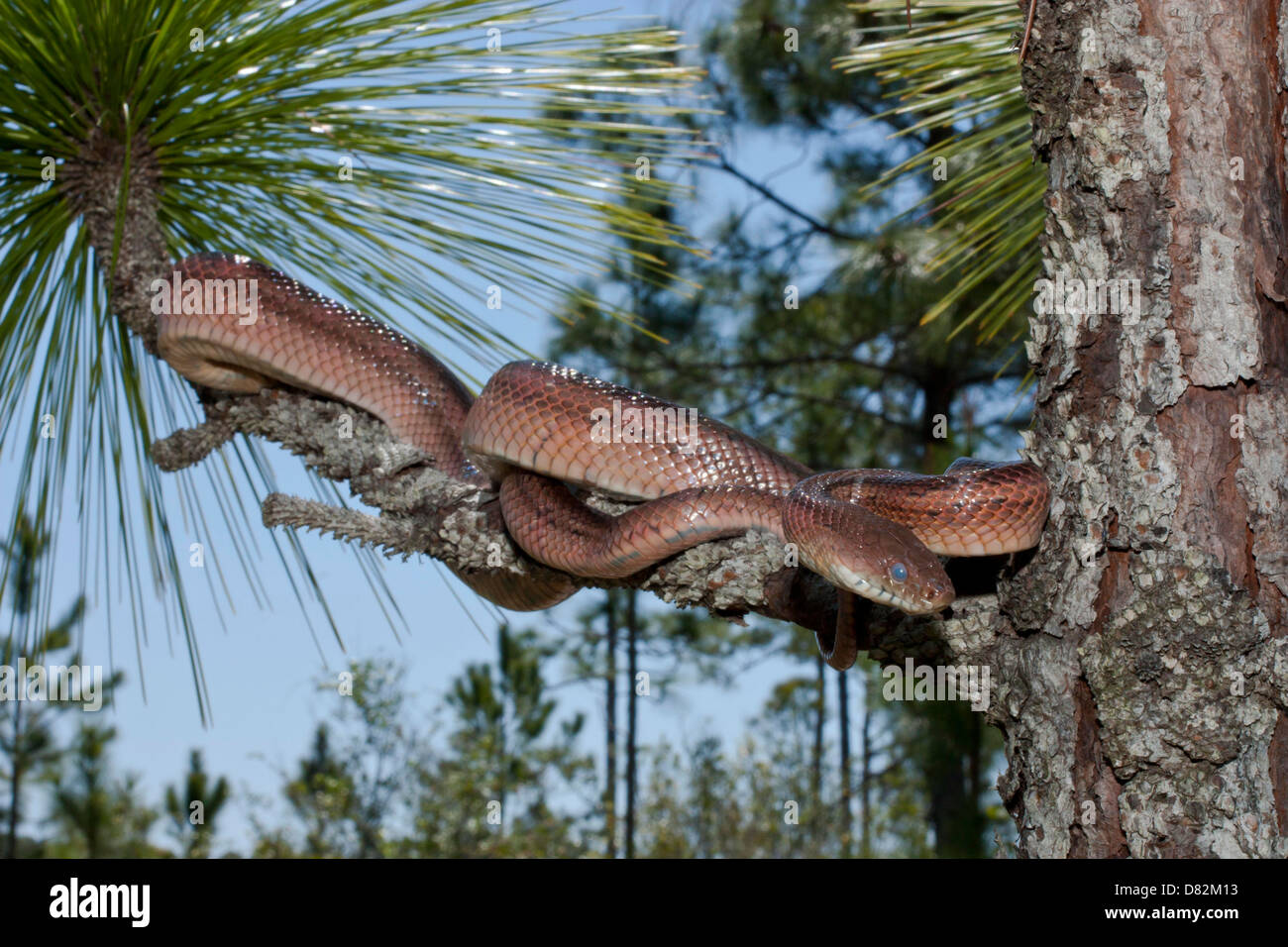Corn snake  - Pantherophis guttatus Stock Photo