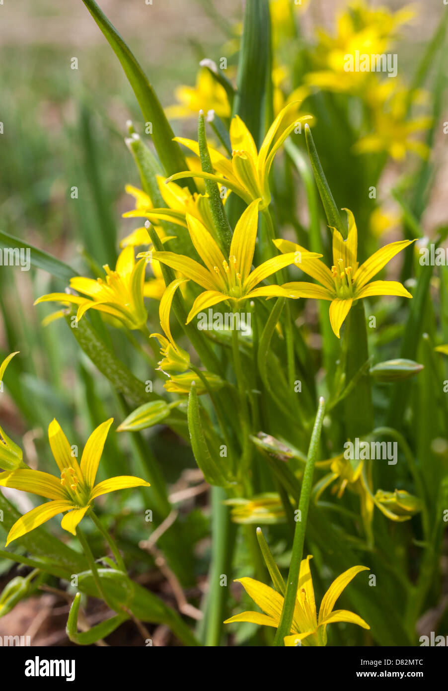 Gagea Is Spring Flowers Stock Photos Gagea Is Spring Flowers Stock