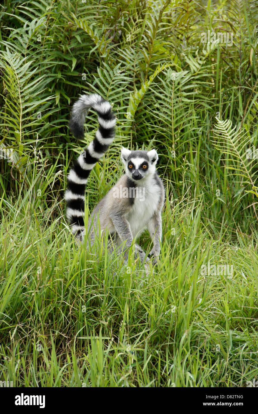 Ring-tailed lemur, Lemurs Island, Andasibe, Madagascar - Stock Image