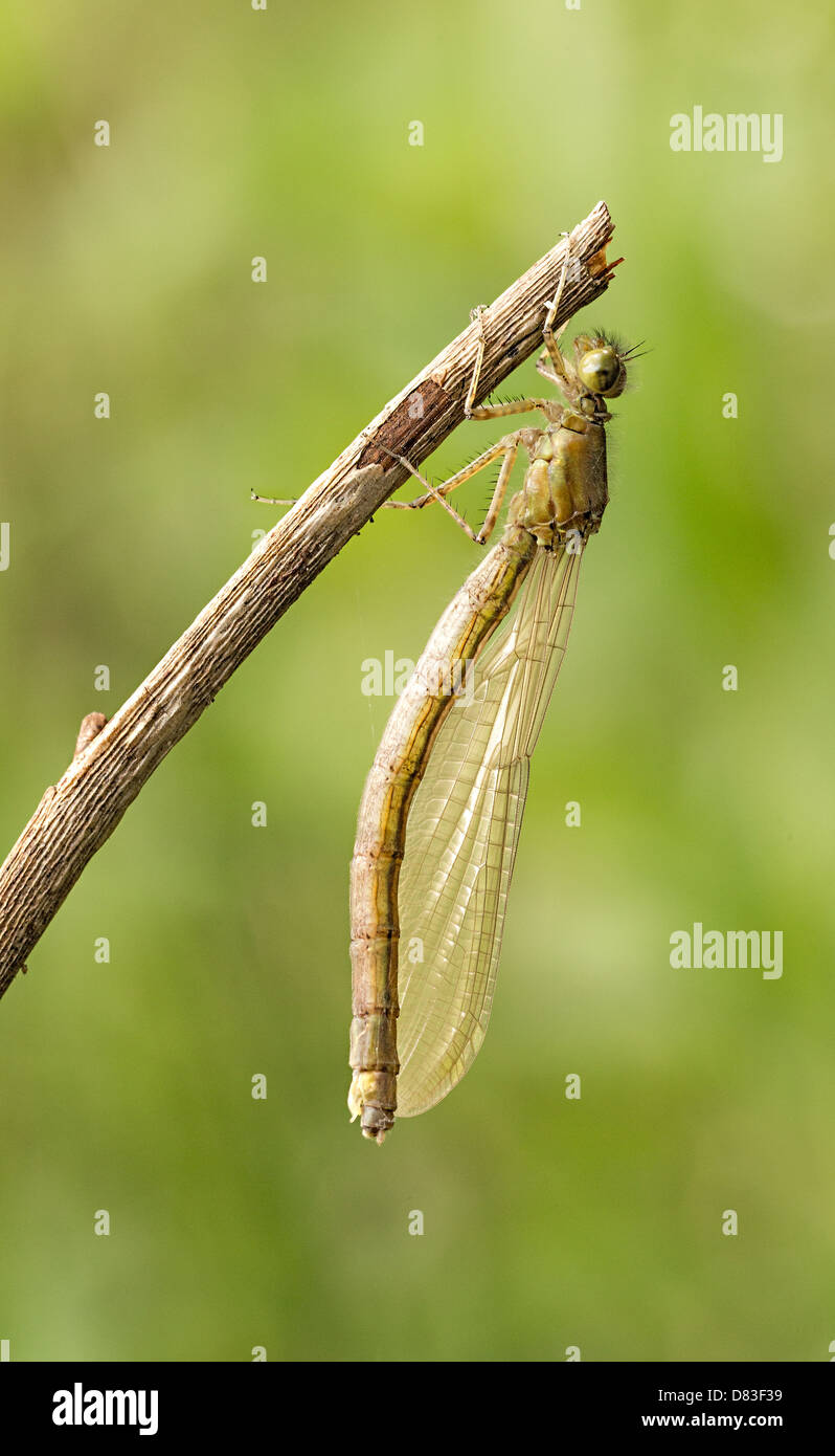 A teneral Large Red damselfly hangs from a twig as it completes its maturation process. - Stock Image