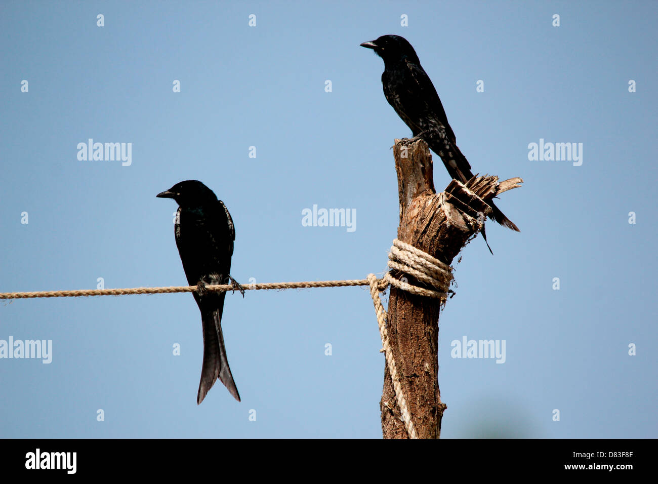 Two black birds(Black Drongo) looking in same direction- a creative photography to show agreement or same opinion. - Stock Image