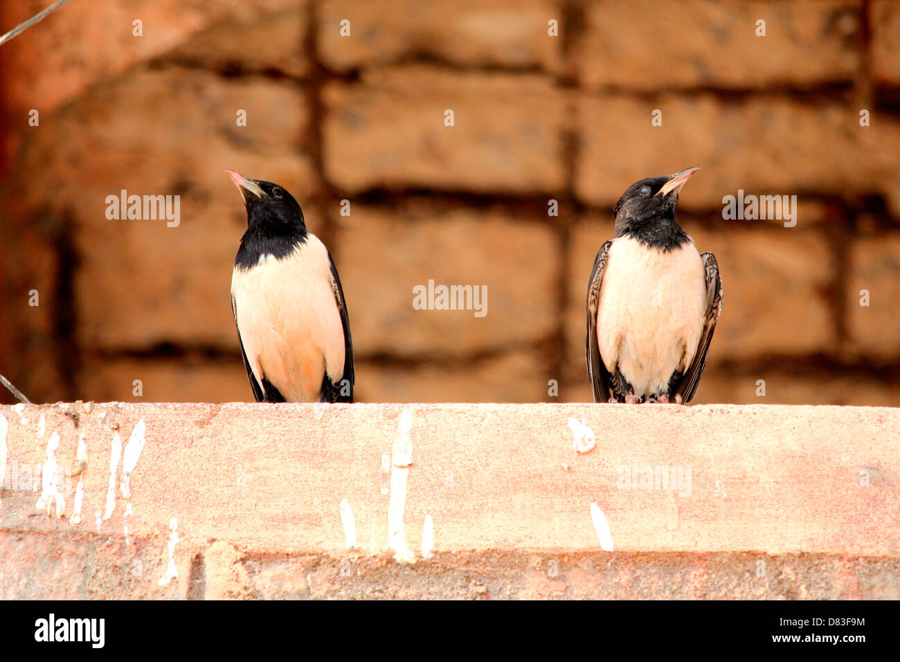 Two birds  looking in two different directions- a creative picture to show difference of opinion or lack of agreement - Stock Image