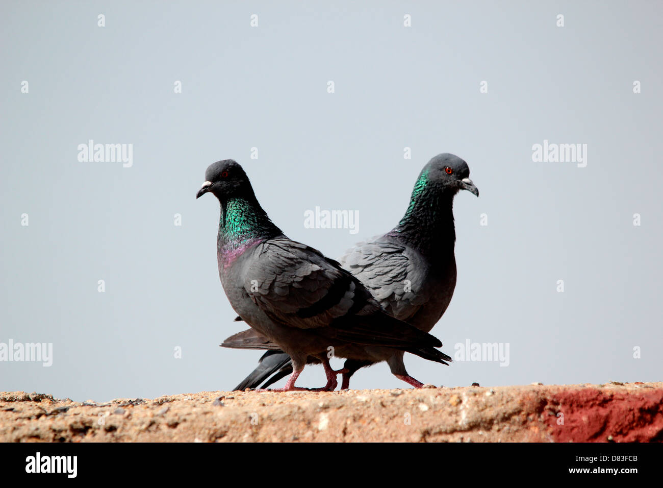 Two pigeons looking in two different directions- a creative picture to show difference of opinion - Stock Image
