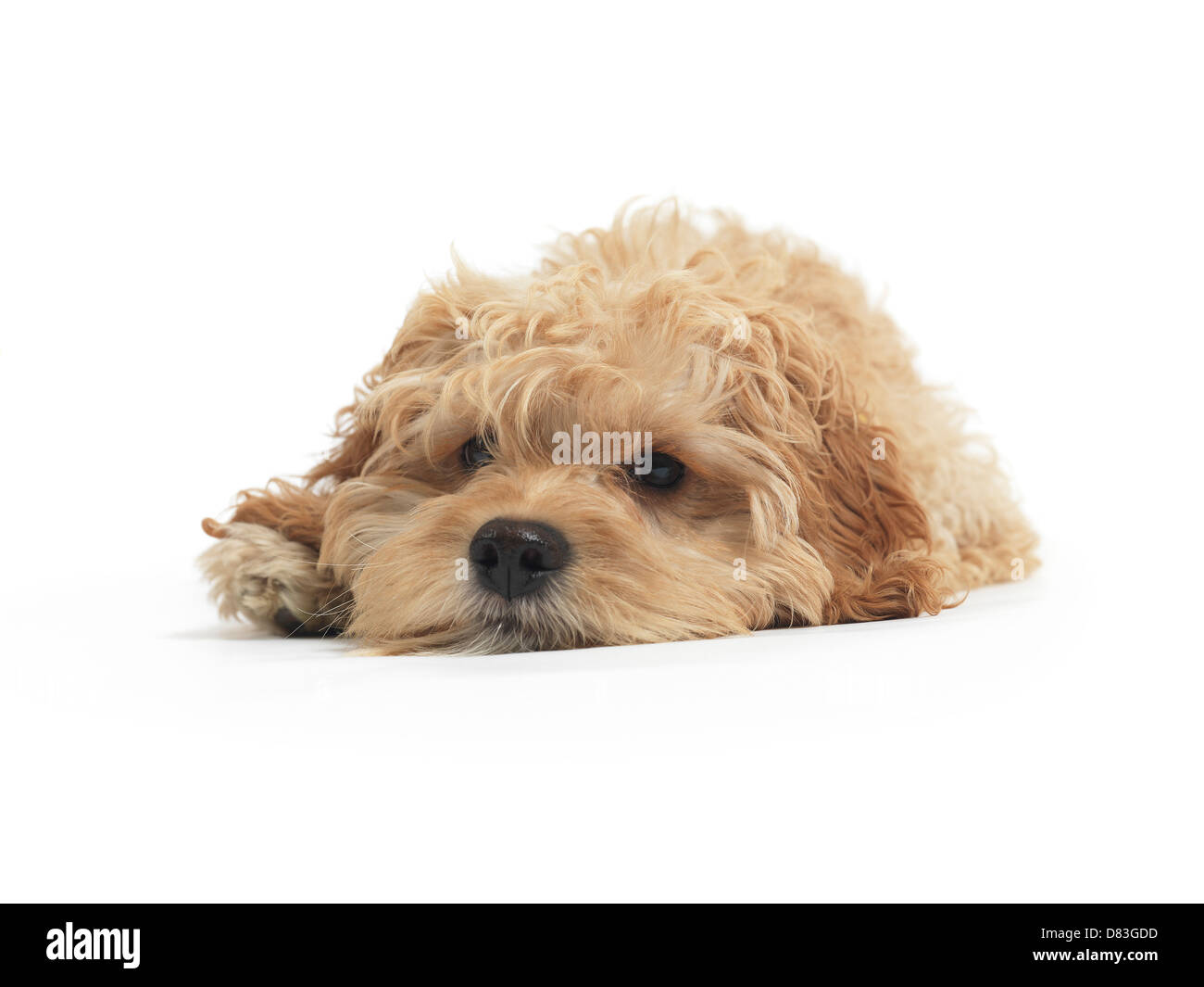 Cockapoo cute cross breed dog of cocker spaniel and a poodle lying down isolated on white background - Stock Image
