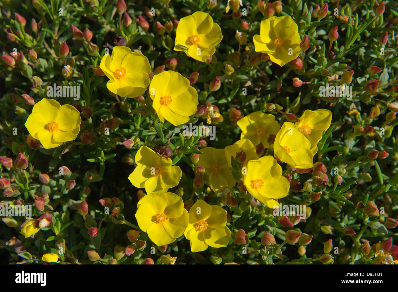 Coast rockrose (Halimium calycinum) flowers Vulnerable Plant Rota Vicentina coastal walk from Monte Clerigo to Arrifana - Stock Image