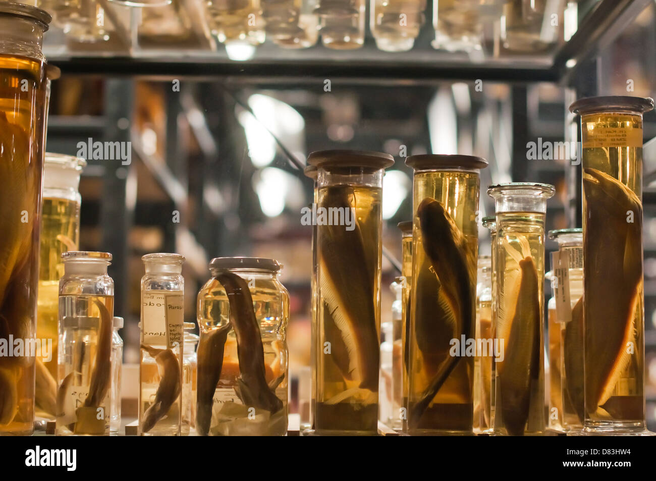 Fish specimens, kept in jars along with ethanol to preserve them - Stock Image