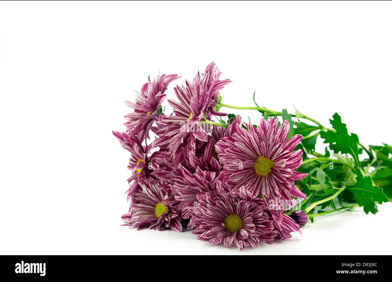 Red striped chrysanthemum flowers. - Stock Image