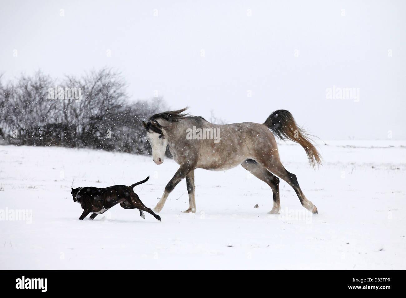 arabian horse and boxer stock photo 56633663 alamy