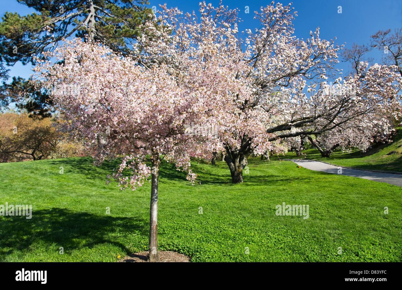 Oriental Cherry Tree Stock Photos & Oriental Cherry Tree Stock ...