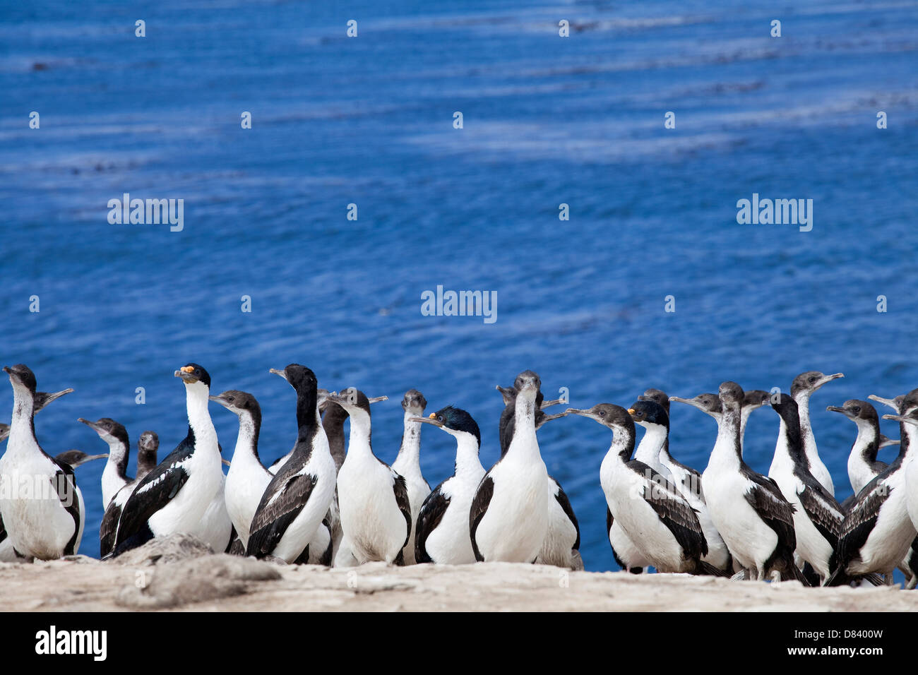 Kormoran; Cormoran real; king cormorant; phalacrocorax albiventer - Stock Image