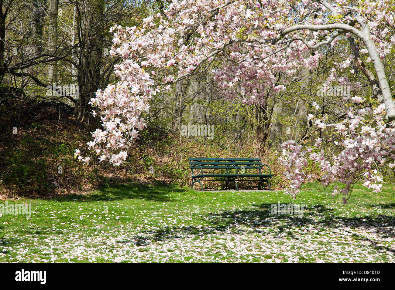 Green park bench in a garden framed by blooming magnolia tree - Stock Image