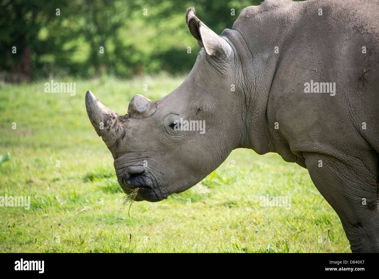A head and neck portrait of a rhinoceros chewing grass - Stock Image