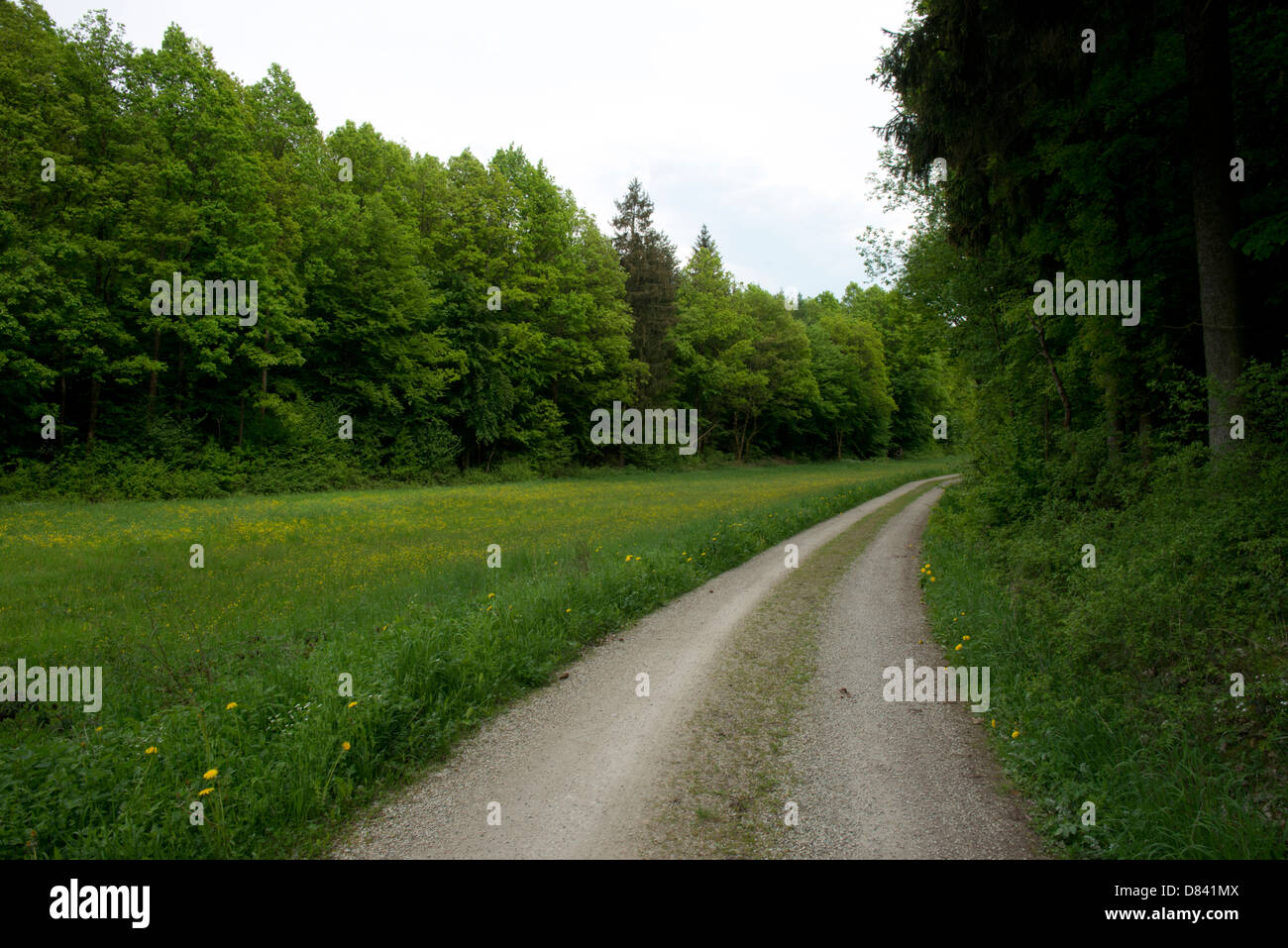 Dirt road alongside a green meadow field clearing in conifer forest in Germany. - Stock Image
