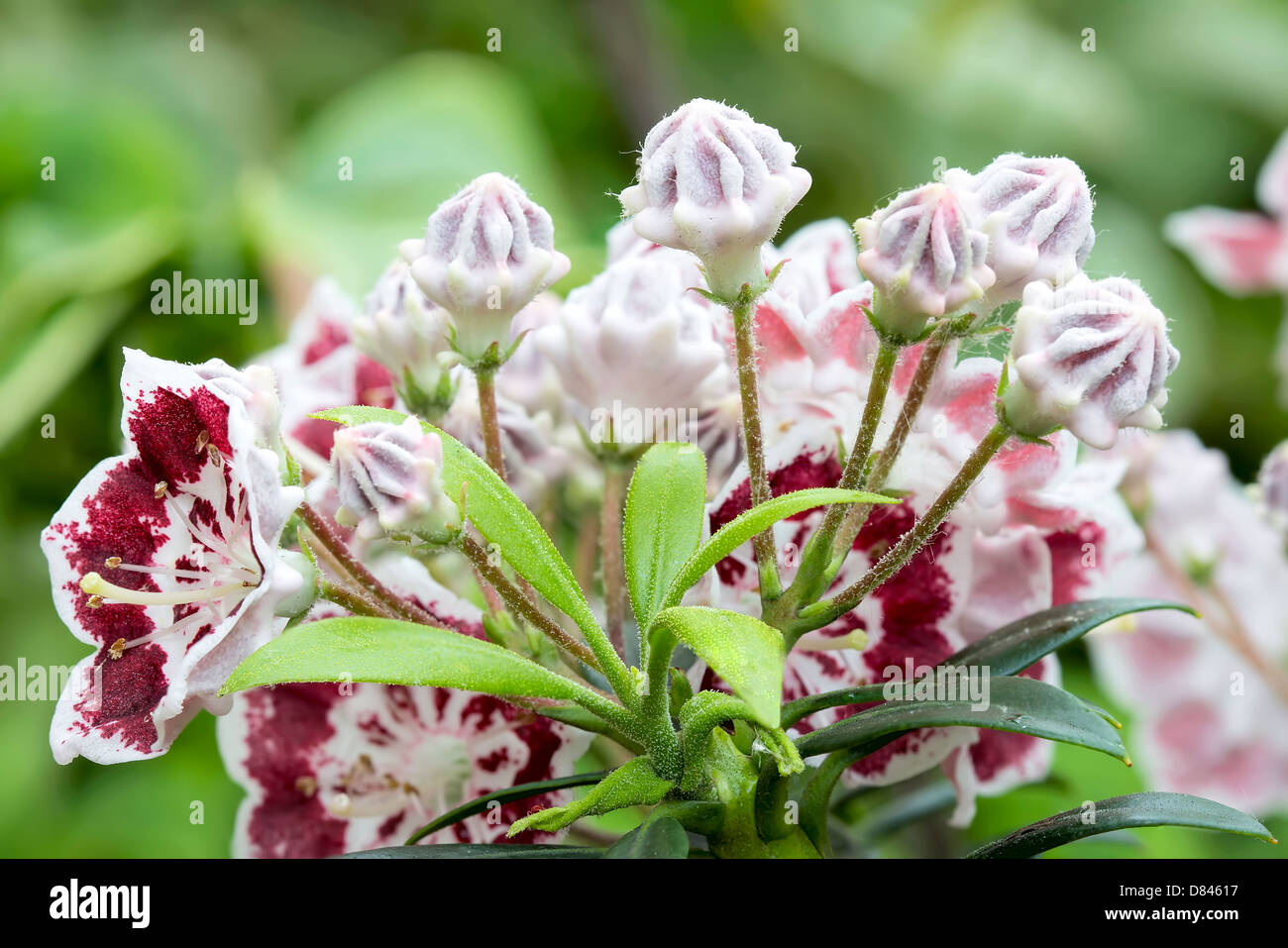 Mountain Laurel Information - How To Grow A Mountain ...