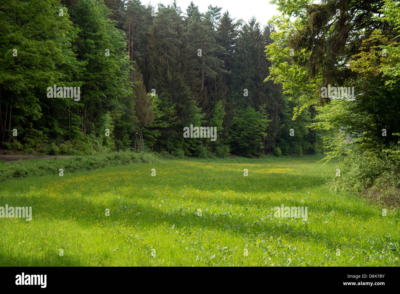 Green meadow field clearing in conifer forest with dirt road in Germany. Stock Photo