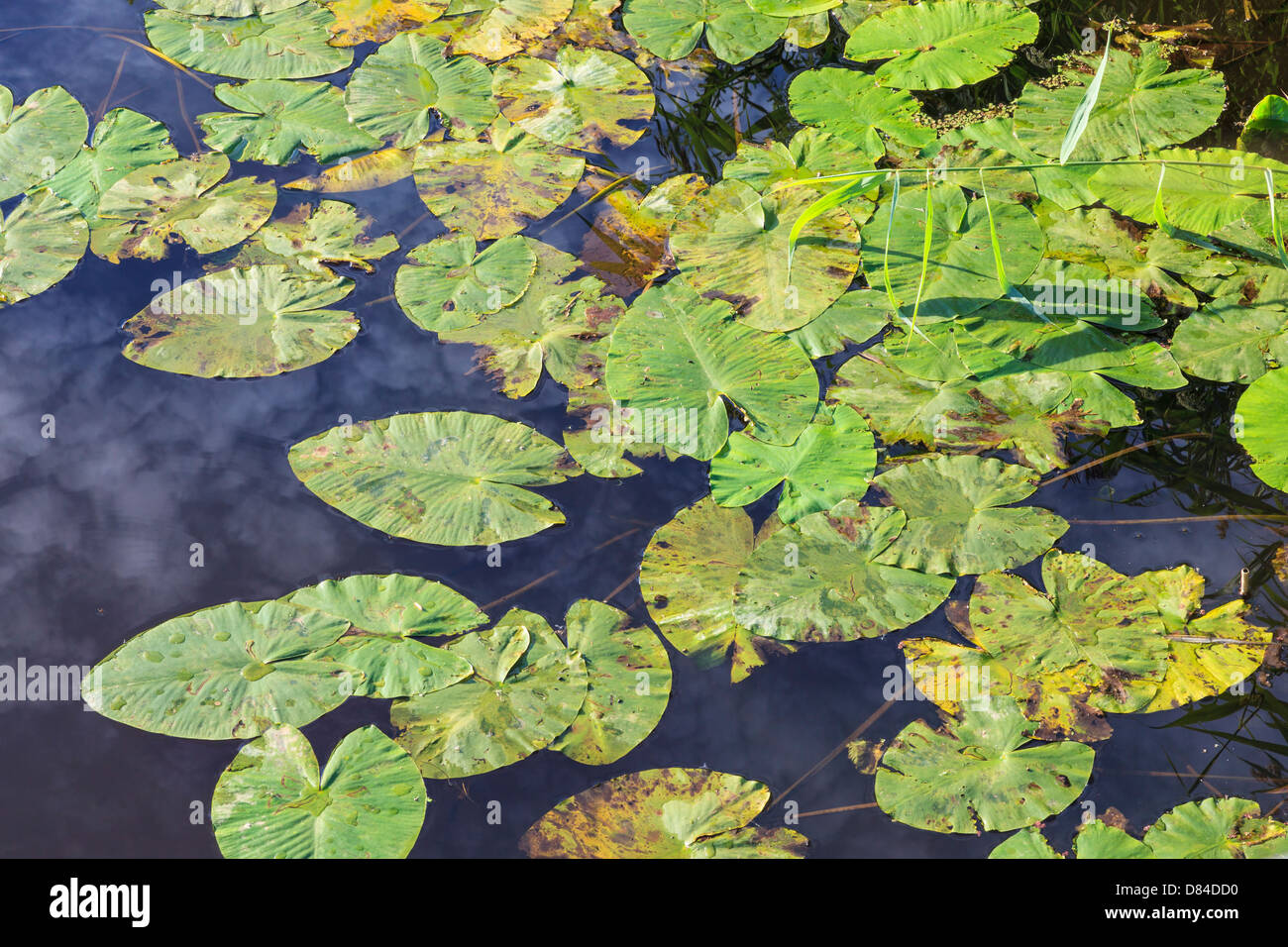 Waterlily leaves floating in the water with reflections - Stock Image