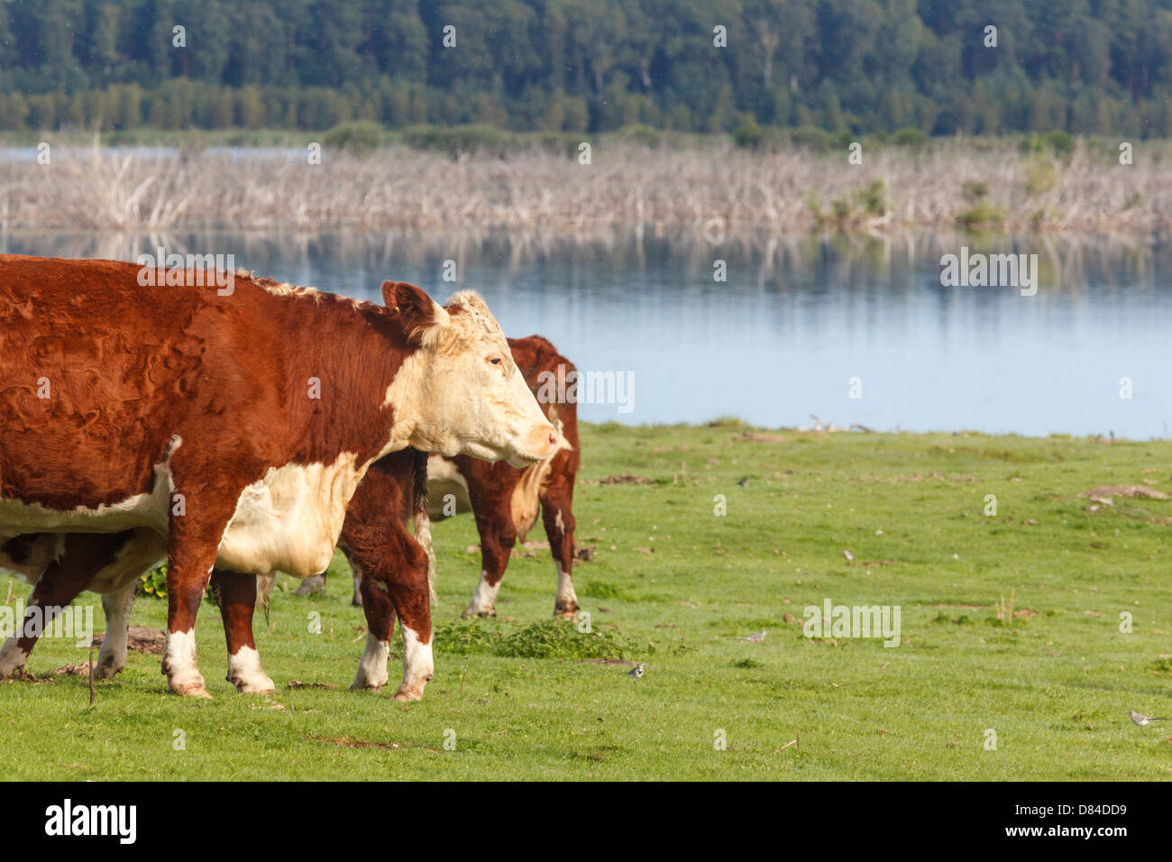 Cows standing at meadow by the lake - Stock Image