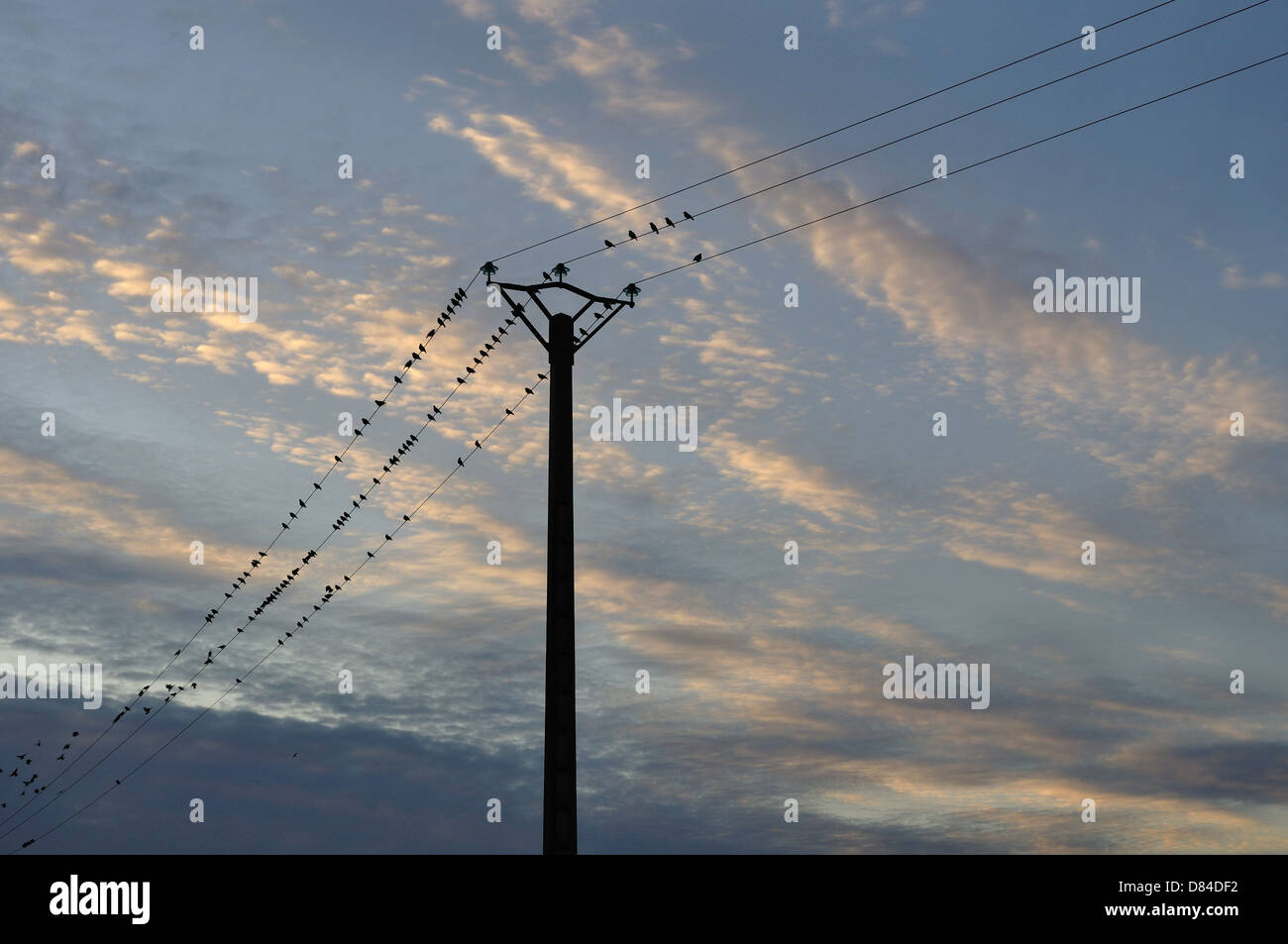 Starlings on telephone wires in the evening Stock Photo: 56646774 ...