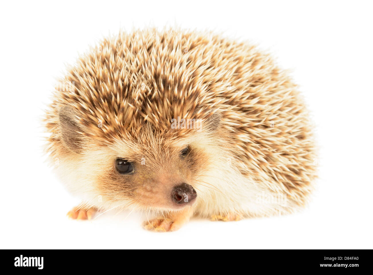 Hedgehog isolated on White background. - Stock Image