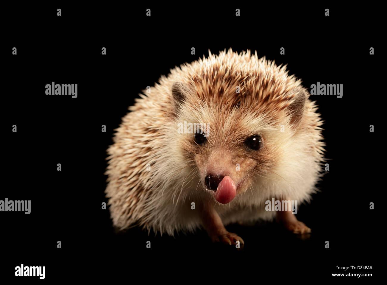 Hedgehog isolated on black background. - Stock Image
