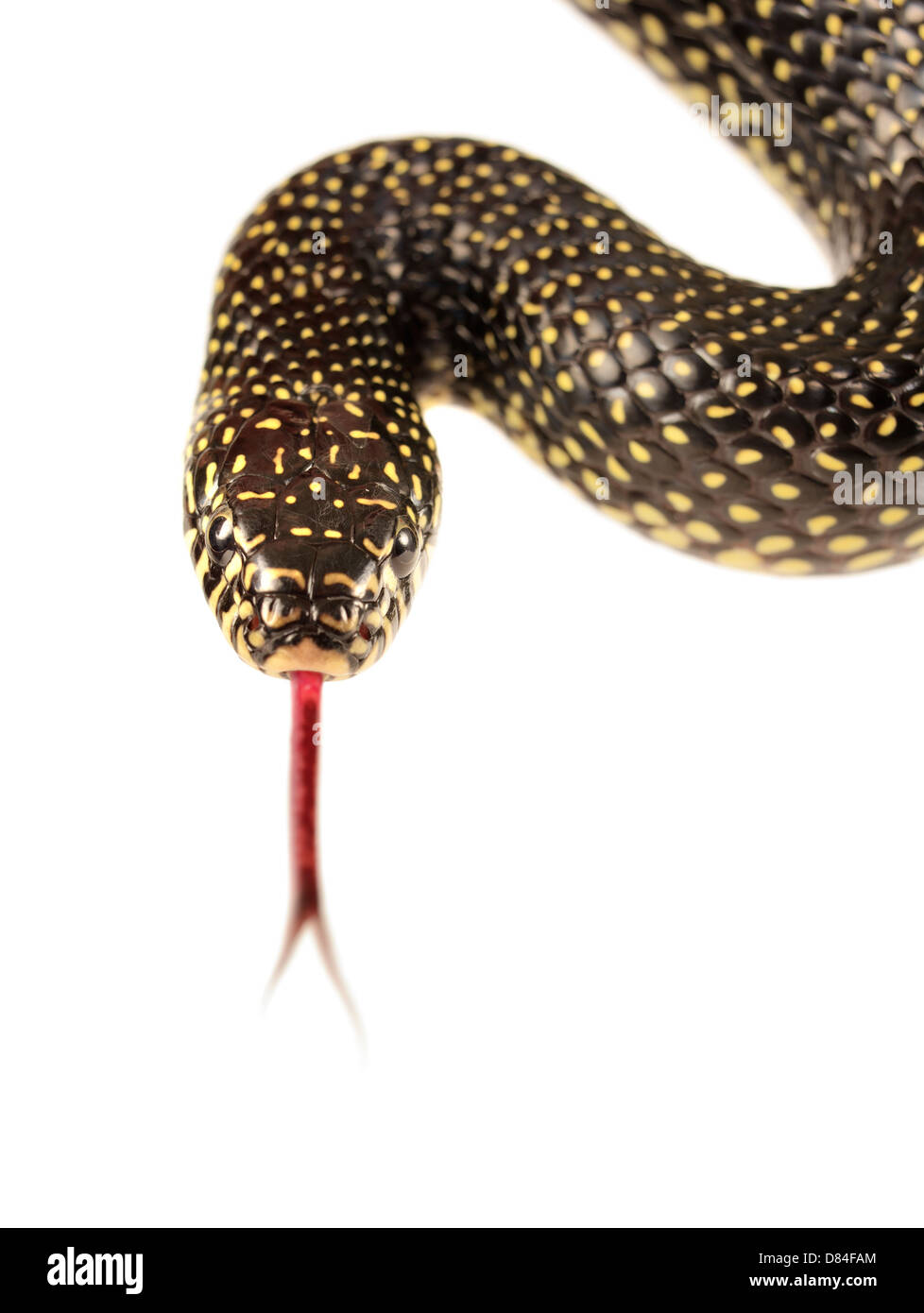 Speckled kingsnake isolated on white background. - Stock Image