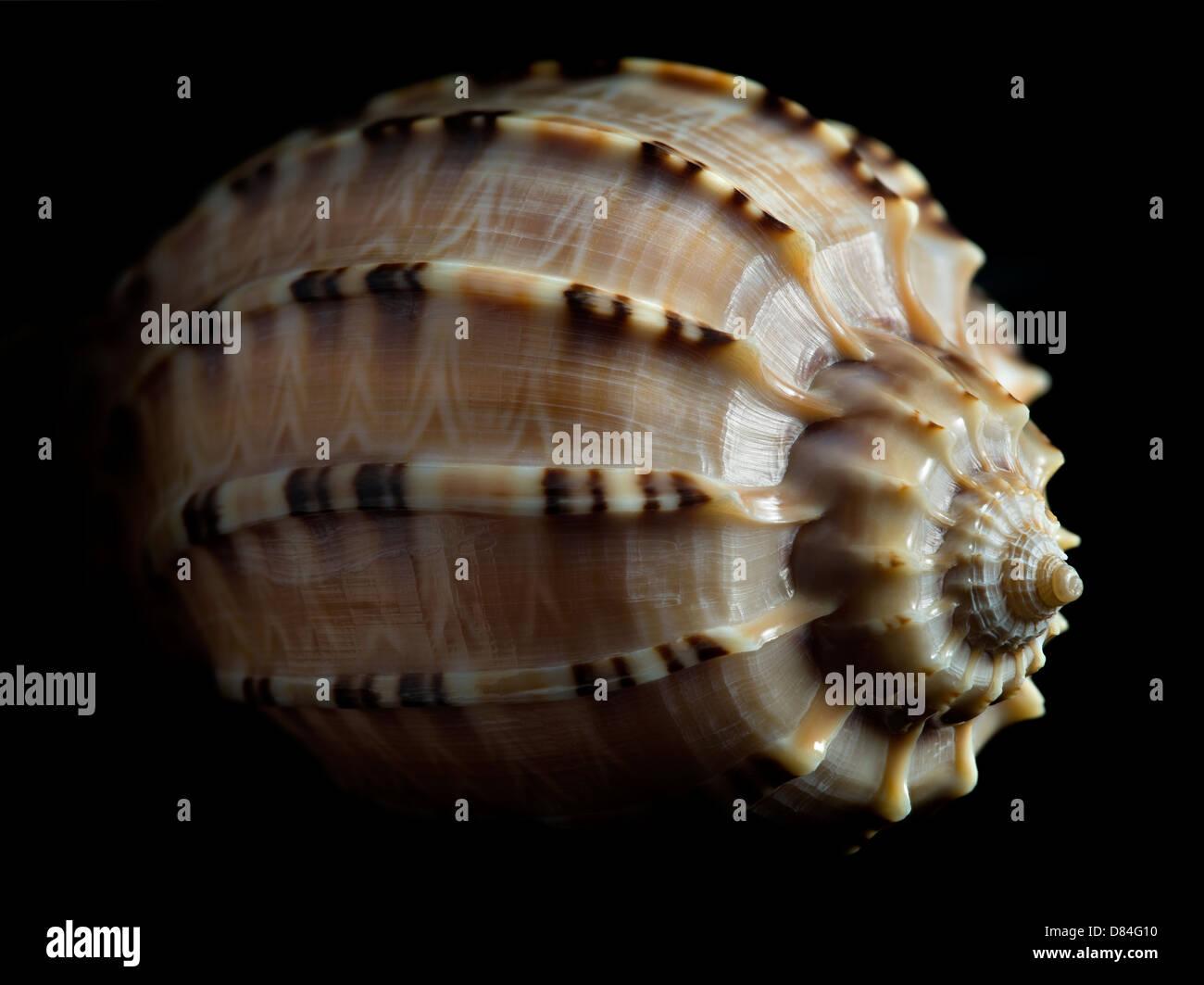 Close up of Harpa Major sea shell. - Stock Image
