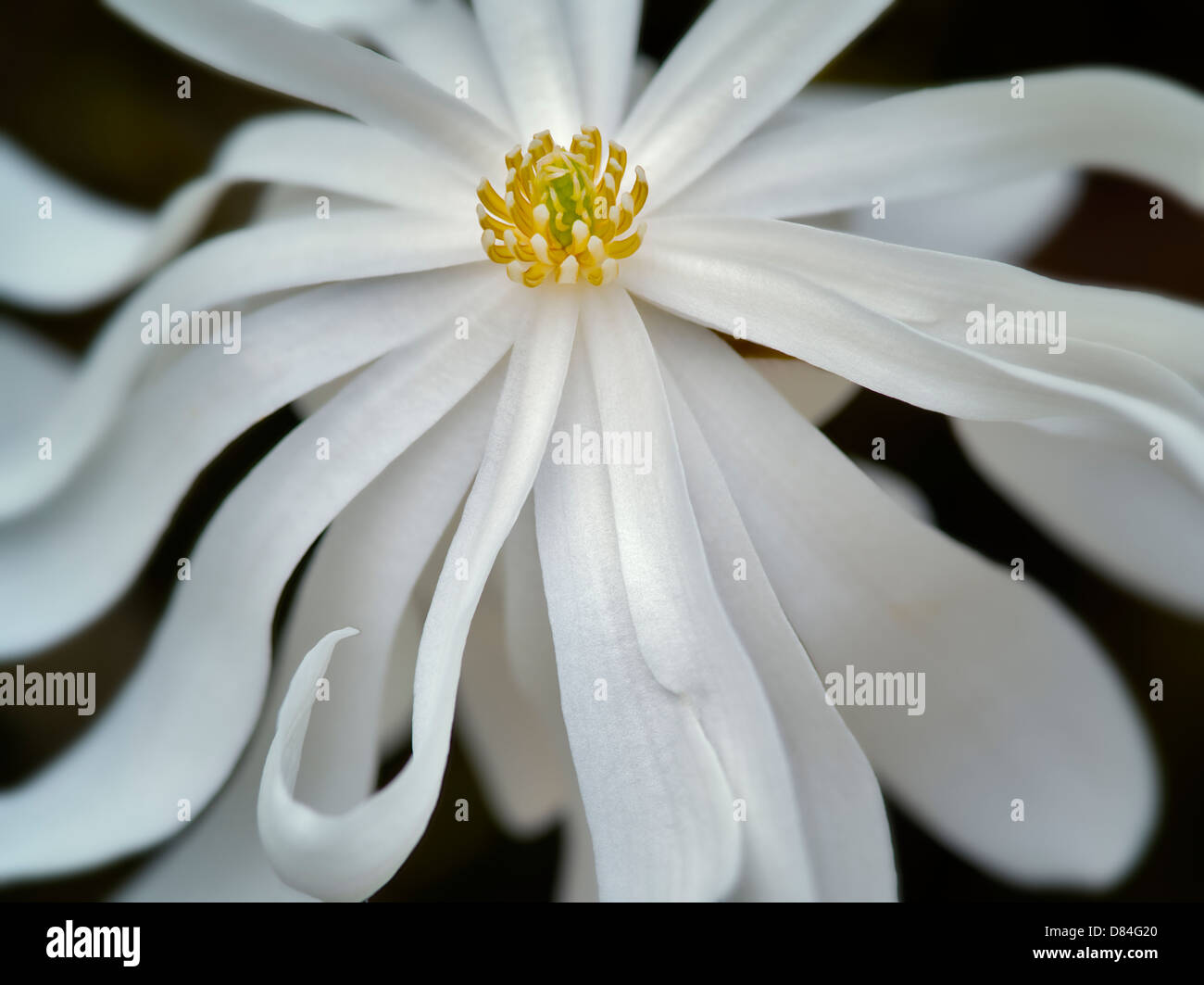 Close up of Royal Star Magnolia (magnolia stellata). Oregon - Stock Image