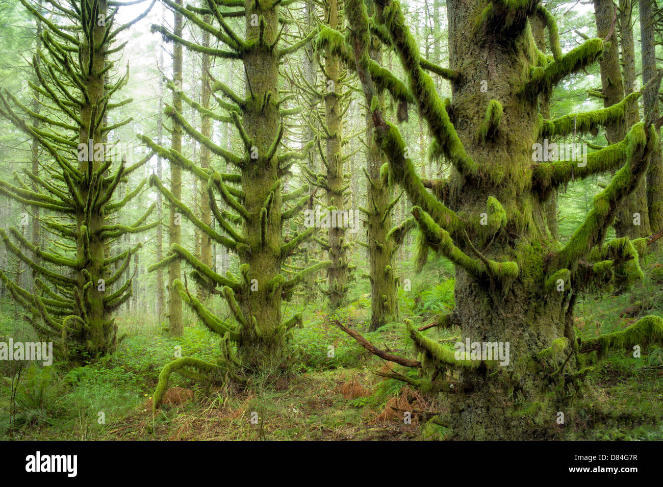 Moss covered Spruce trees. Silver Falls State Park, Oregon Stock Photo