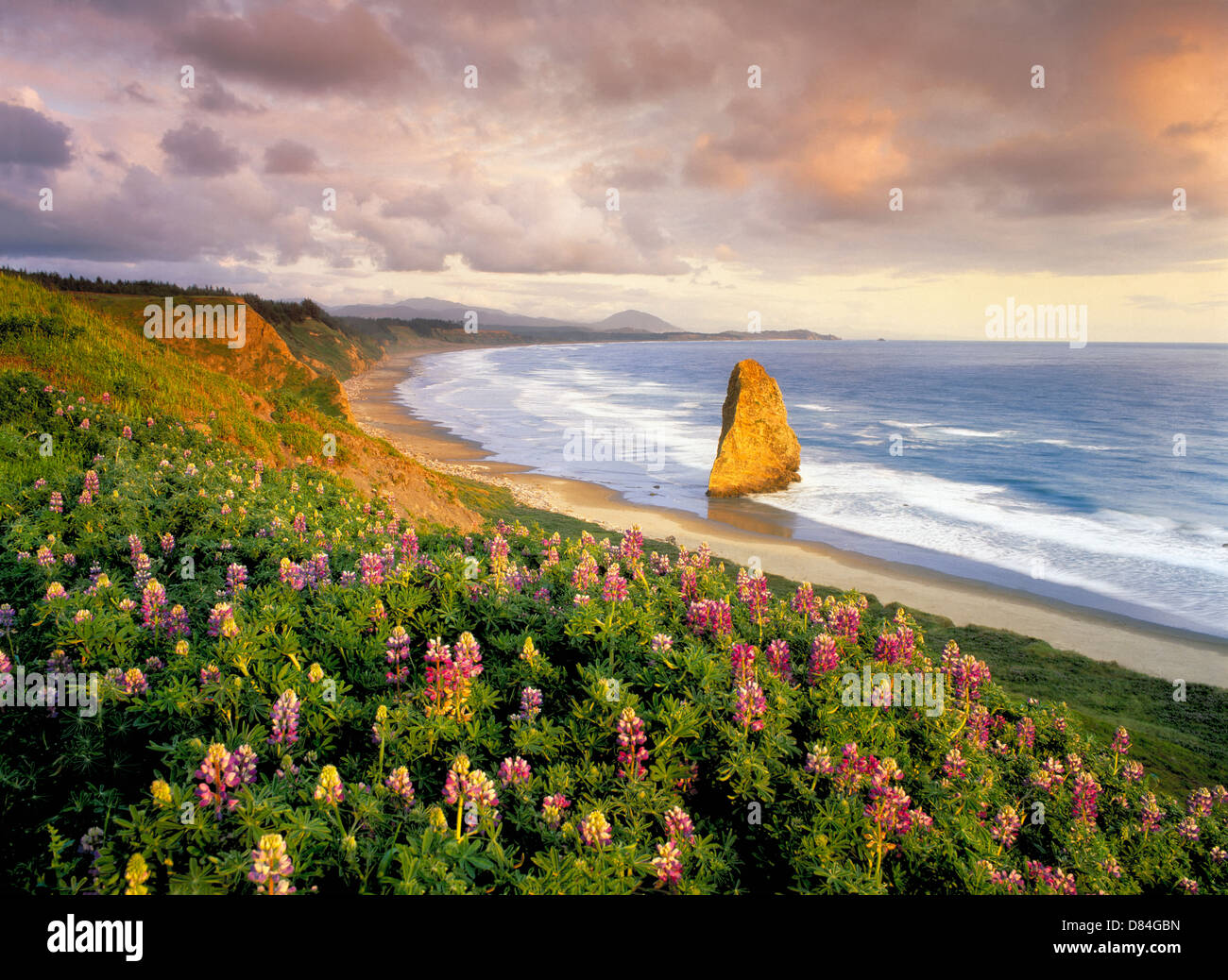 Lupines and coastline at Cape Blanco, Oregon. - Stock Image