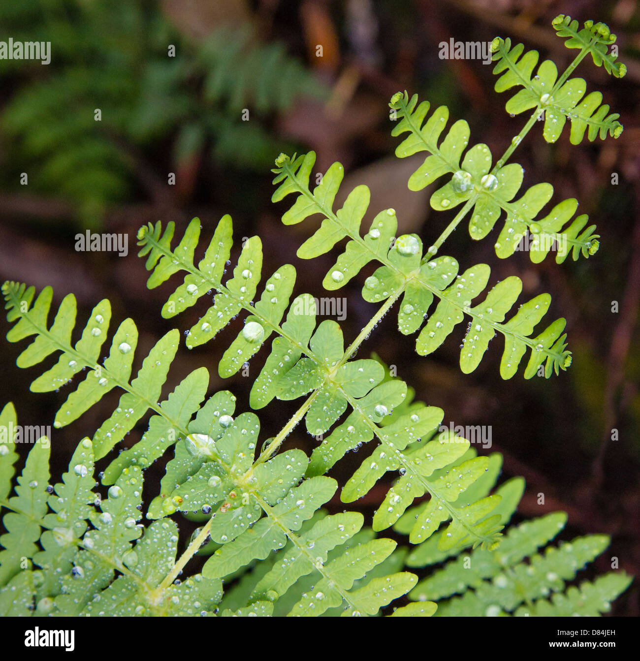 Symmetrical fern leaves covered in rain drops South East Asia - Stock Image