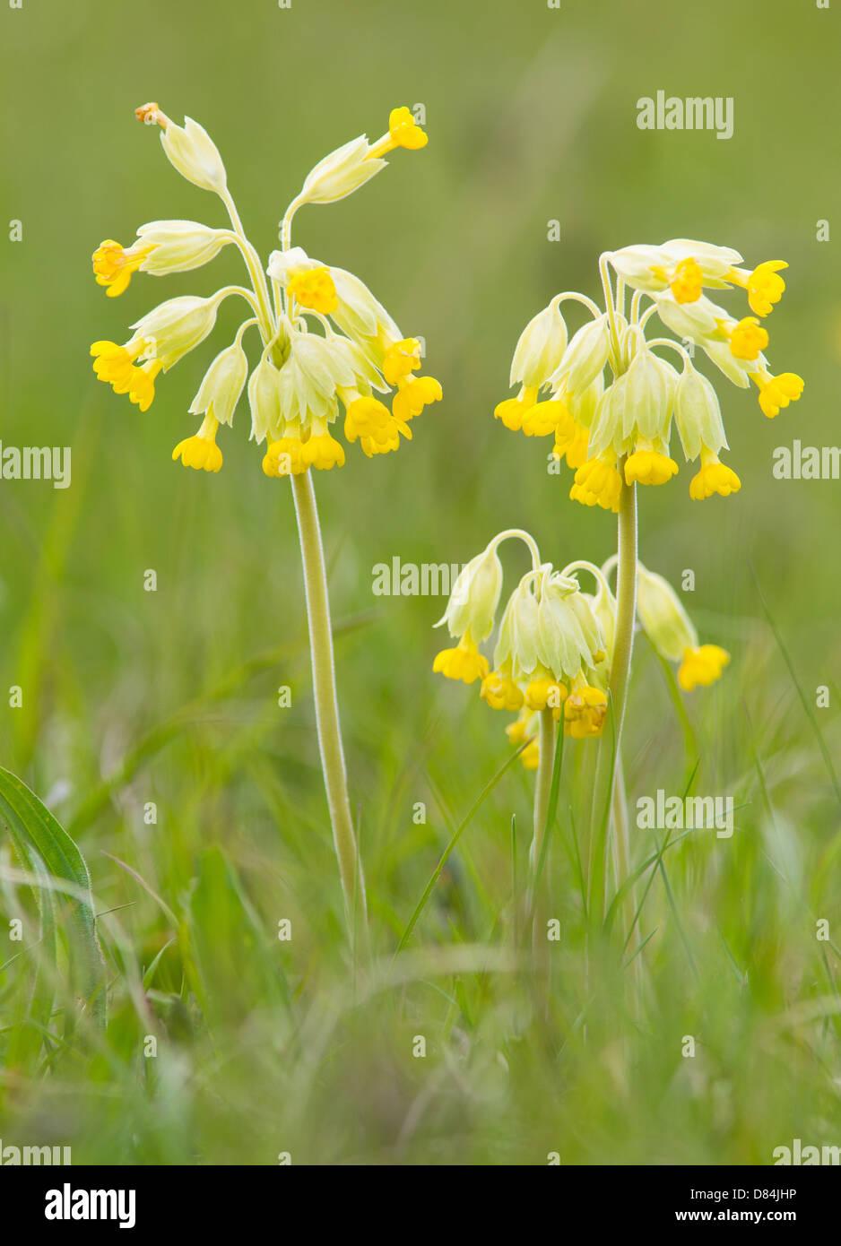 Cowslip Primula veris Stock Photo