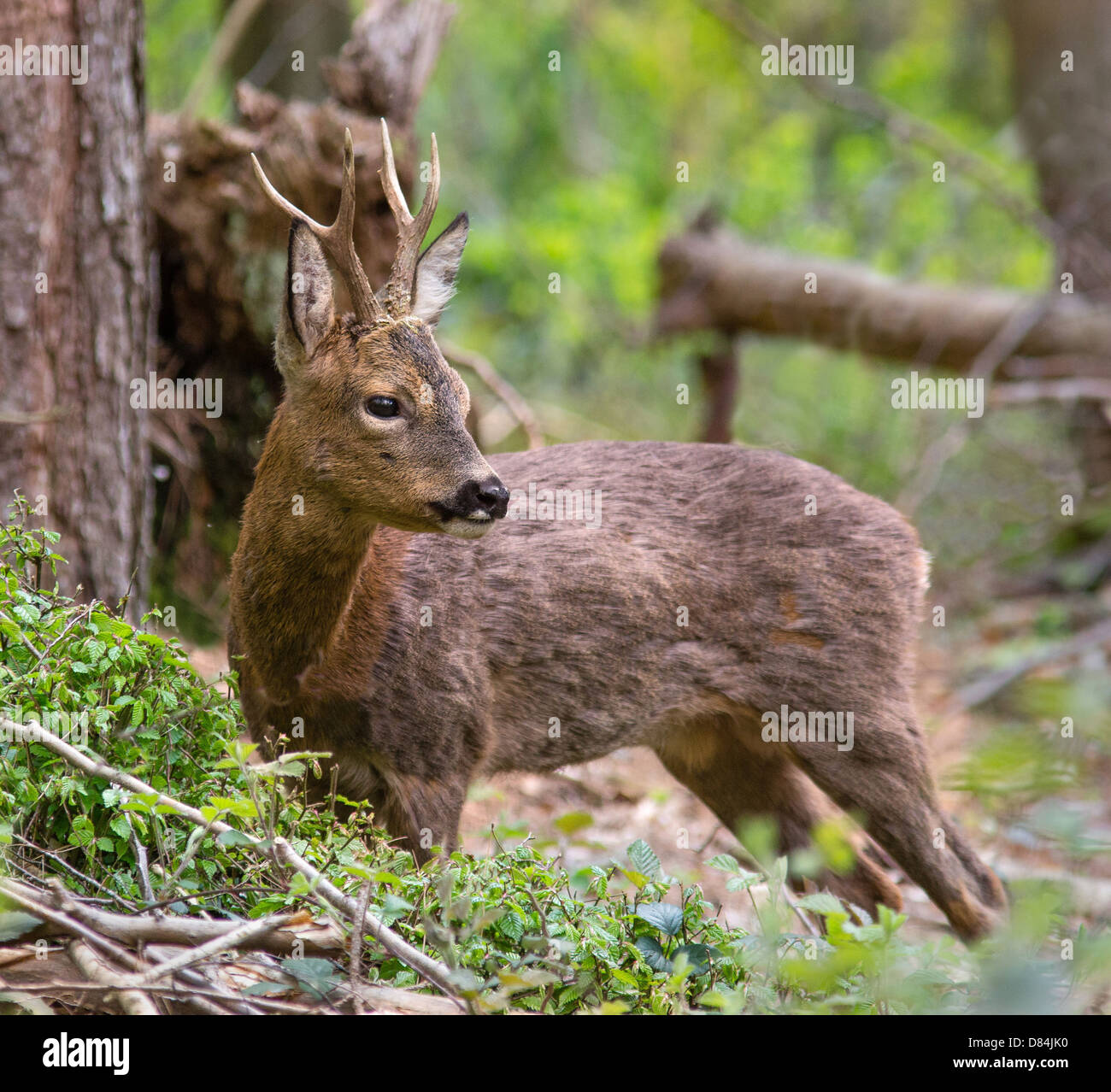 Young buck Roe deer Capreolus capreolus pausing from feeding on young bramble leaves in Leigh Woods Bristol - Stock Image