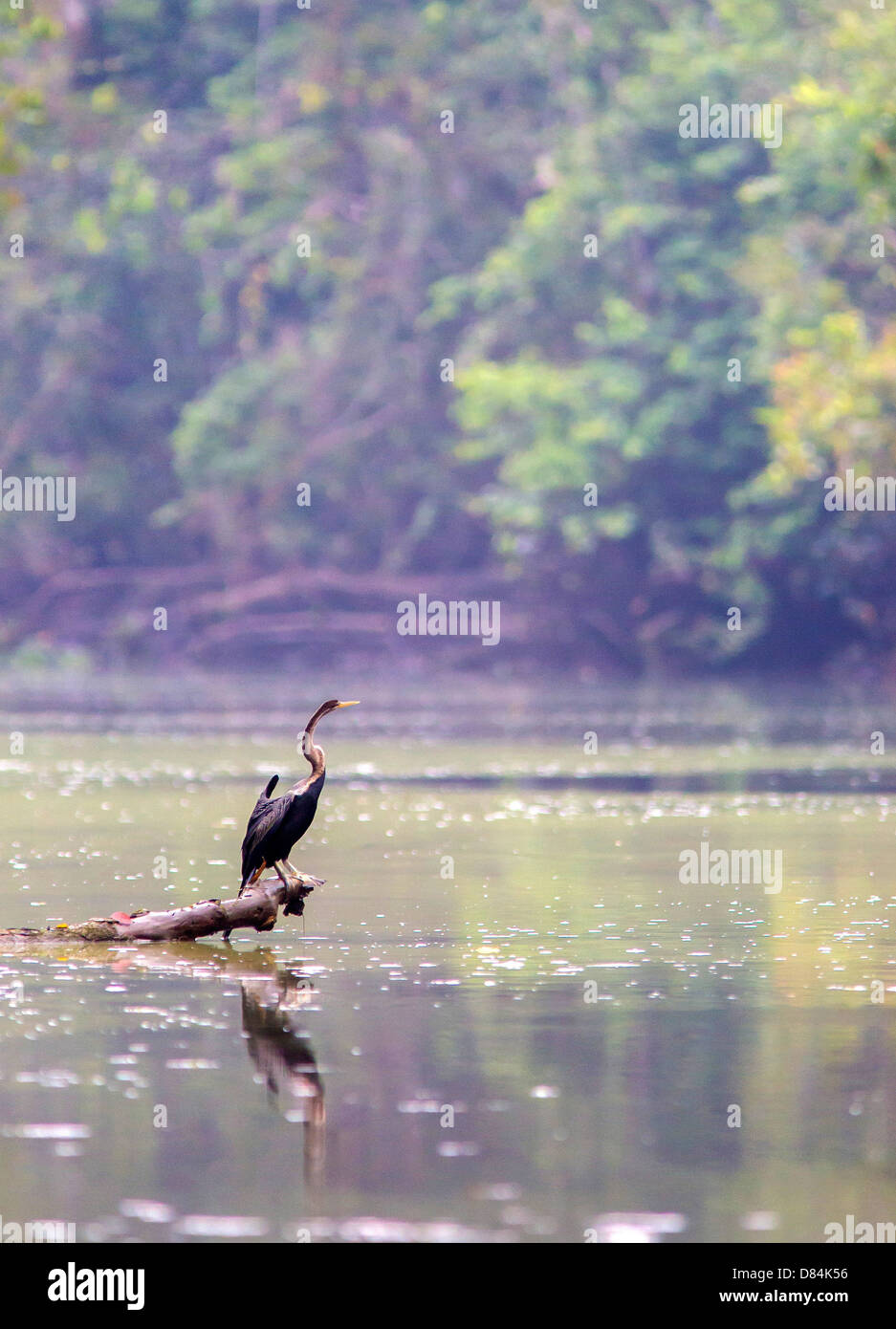 Darter ( Anhinga melanogaster ) fishing in a creek off the Kinabatangan River in Sabah Borneo - Stock Image