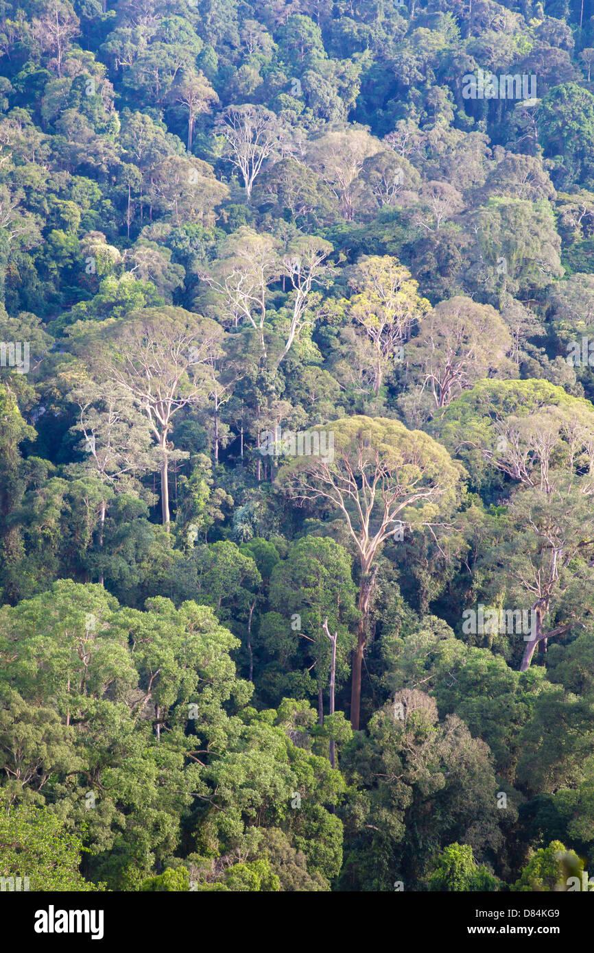 Primary virgin rainforest of dipterocarp tree species in the Danum valley Sabah Borneo - Stock Image