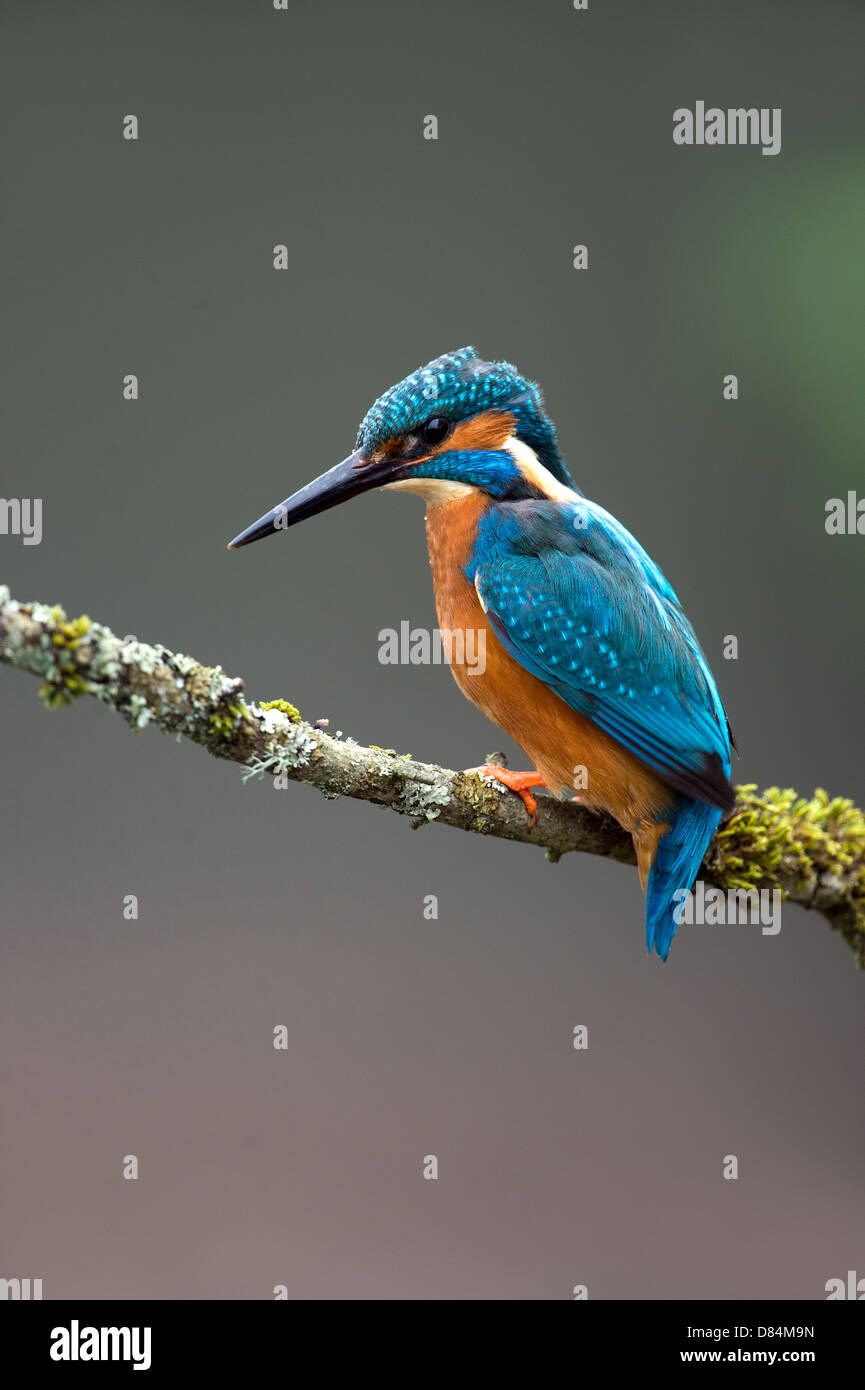 Kingfisher perched on branch - Stock Image