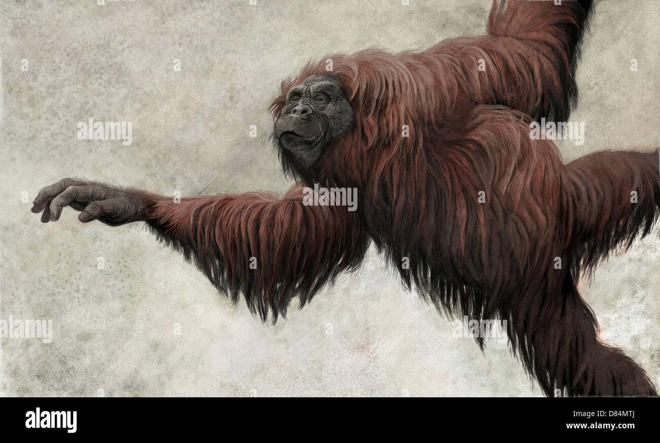 Dryopithecus=Hispanopithecus laietanus, a basal hominidae from the Spanish Miocene epoch. - Stock Image