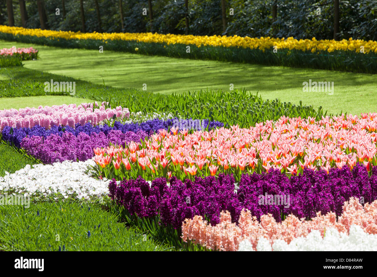 Tulips and Hyacinth at Keukenhof gardens, near, Lisse, Netherlands, the most famous Spring gardens in the world. - Stock Image