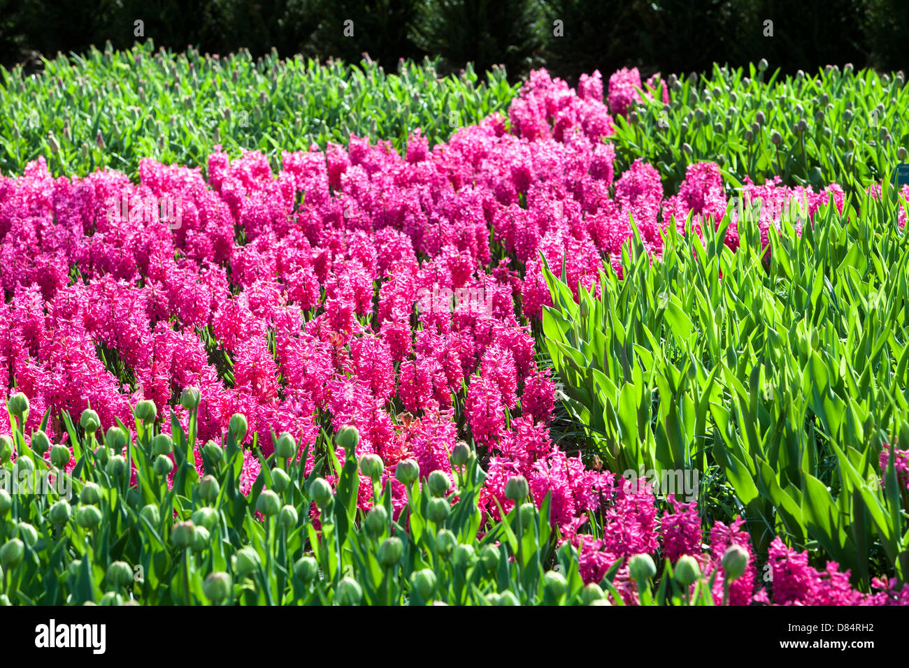 A Hyacinth display at Keukenhof gardens, the most famous Spring garden in the world, Lisse, Netherlands. - Stock Image
