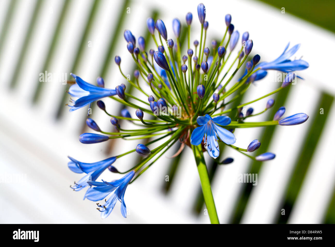 Agapanthus africanus (African lily) - Stock Image