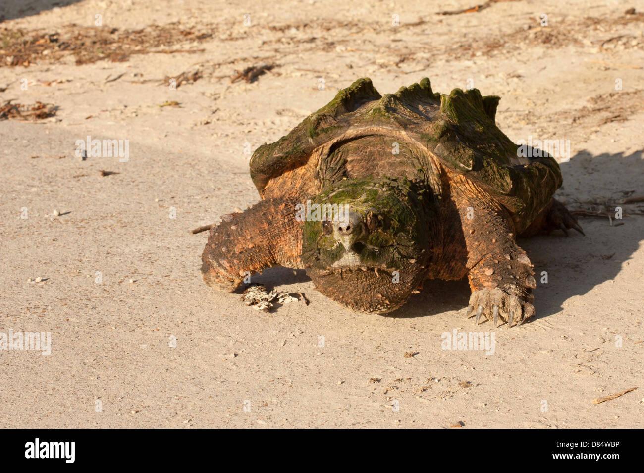 Alligator snapping turtle walking down a boat ramp - Macrochelys temminckii - Stock Image
