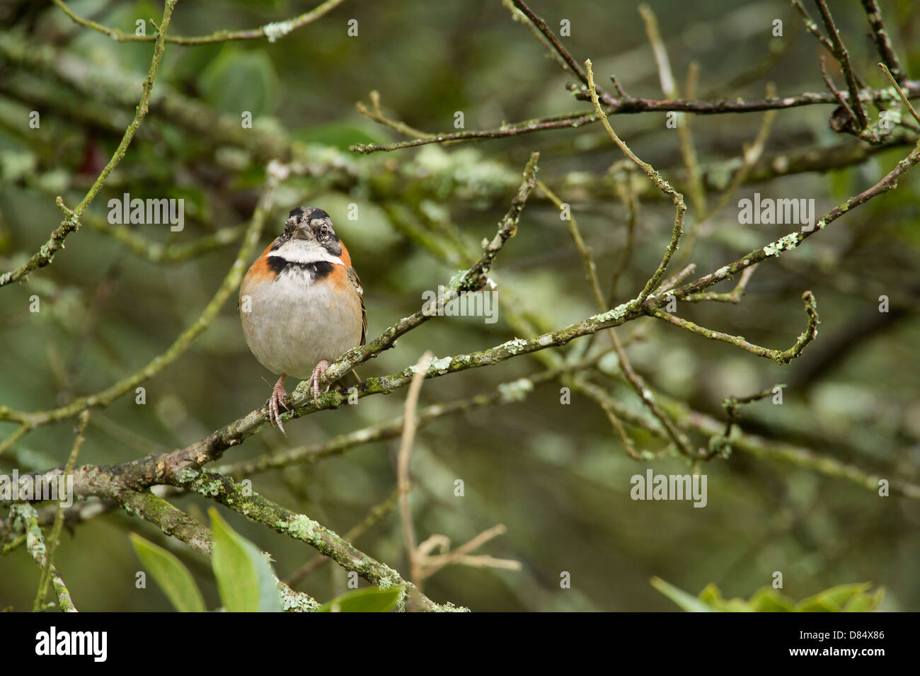 Rufous-collared Sparrow perched on a branch in Costa Rica, Central America Stock Photo