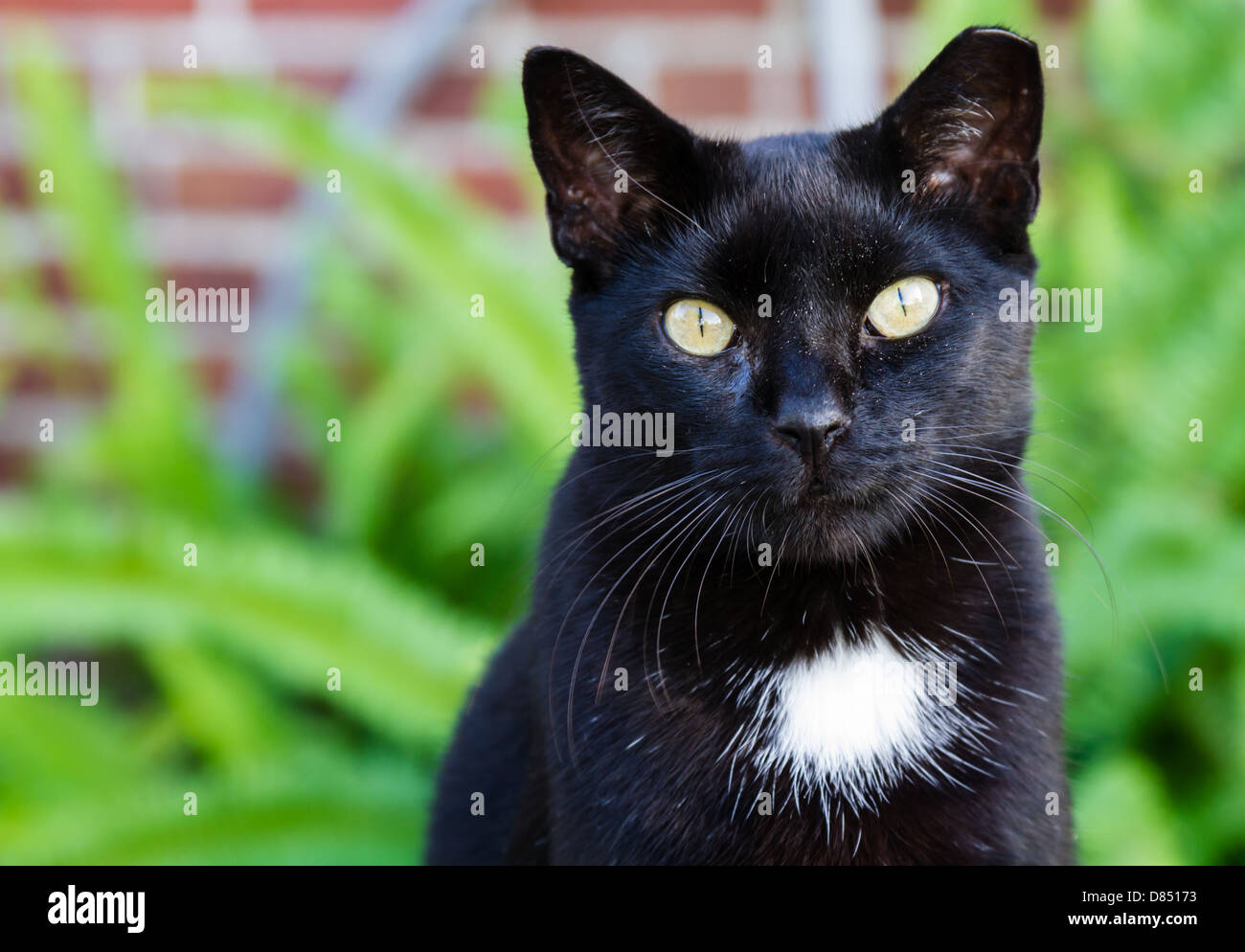 A black cat with a white spot and striking yellow eyes. - Stock Image