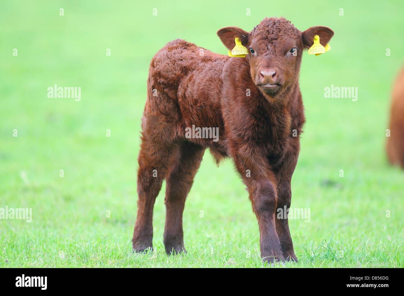 A Red Ruby Devon calf new born - Stock Image