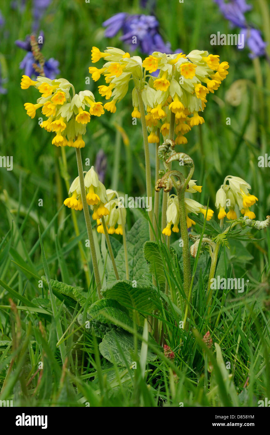 Cowslip - Primula veris Flowers in grass with Bluebells in background Stock Photo