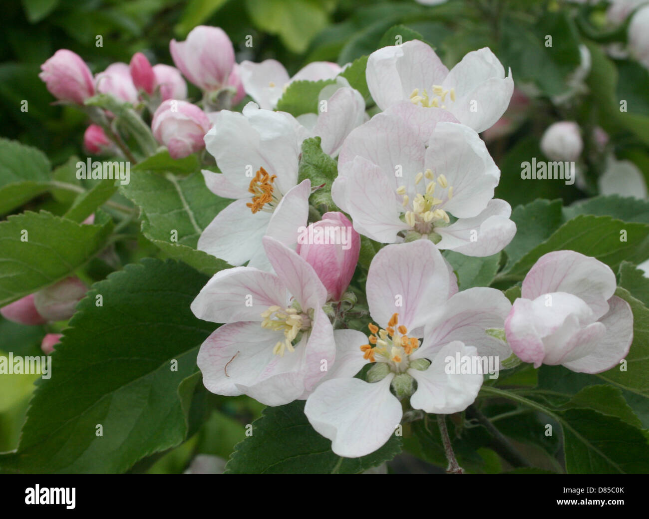 Bramley Apple Blossom, beautiful pink buds that form paler pink blossom with dark green serrated leaves. - Stock Image