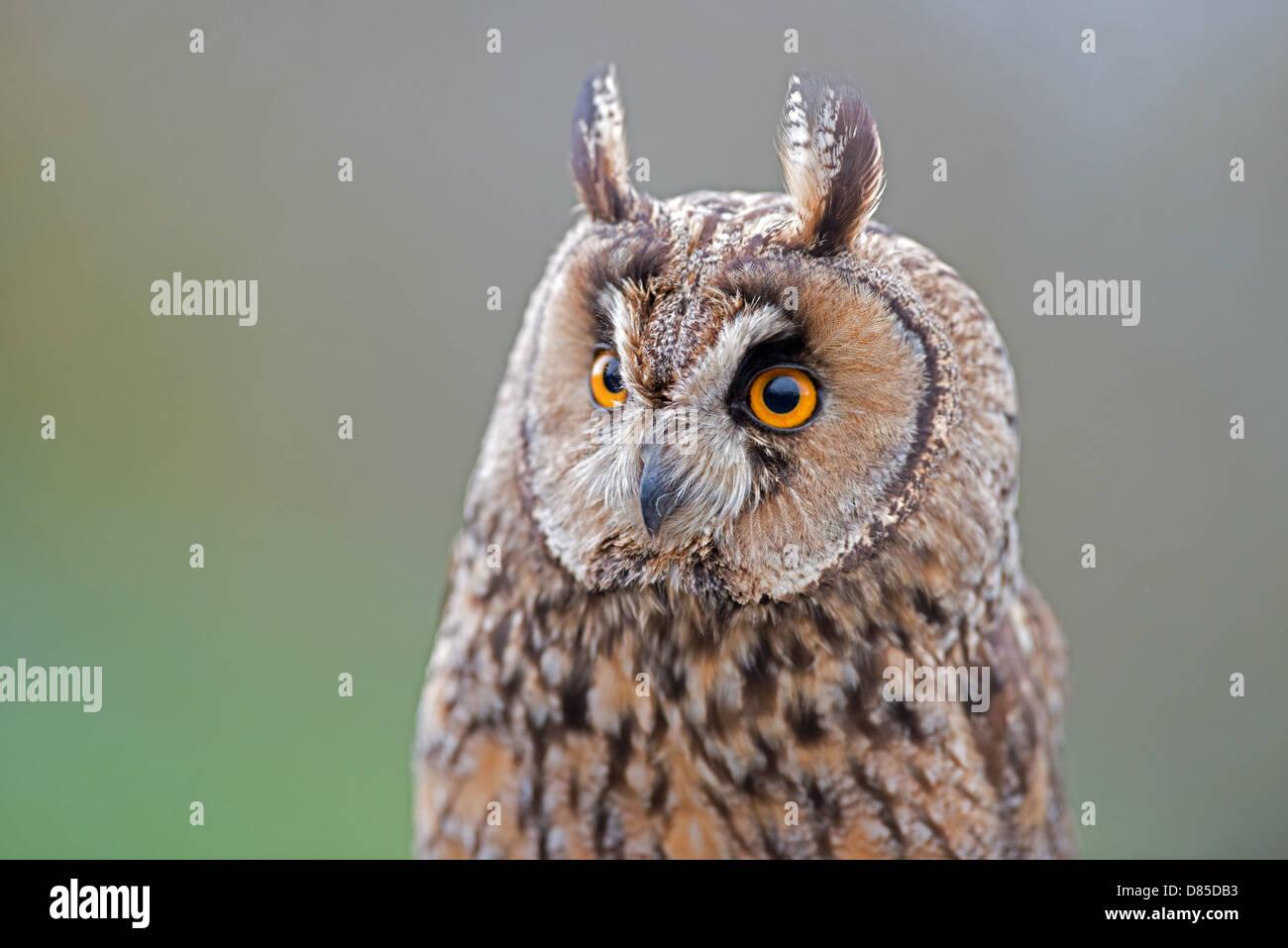 Long-eared Owl, Asio otus. UK - Stock Image