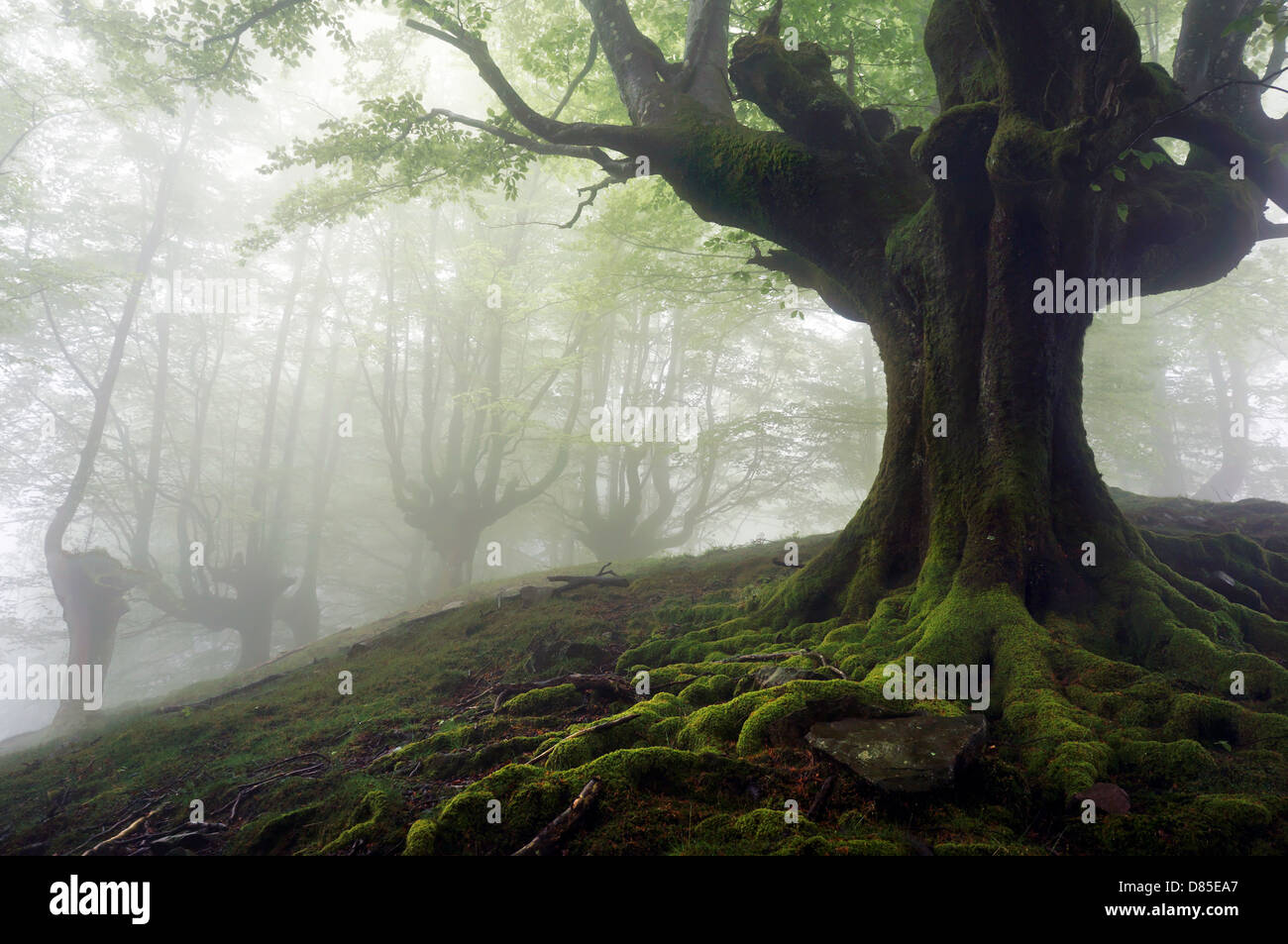 foggy forest with mysterious trees with twisted roots - Stock Image