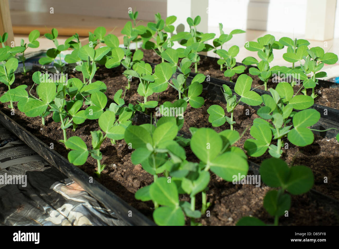 Growing your own food, garden pea seedlings. - Stock Image